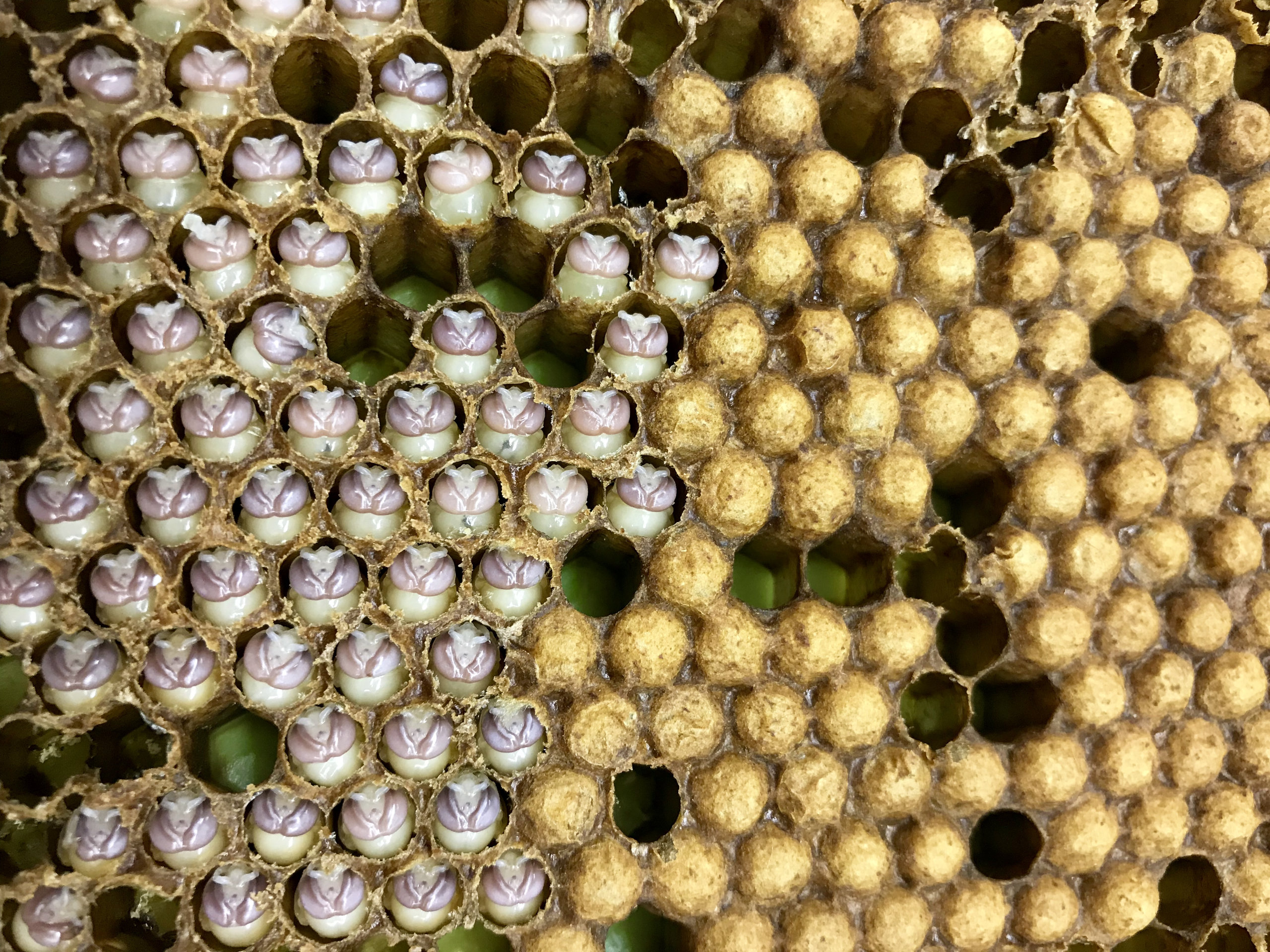 Honeybee drone pupae uncapped in the hive.